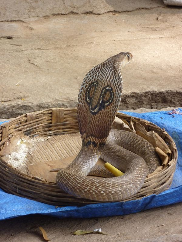 Zanimljivosti o King Cobra