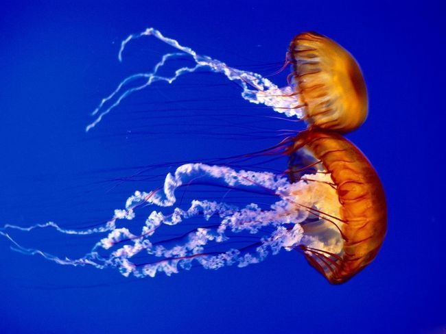 Zajímavá fakta o medúzy
