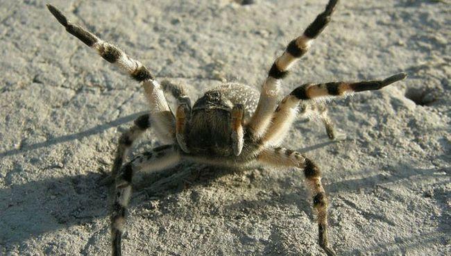 Высокие температуры делают паука-птицееда быстрым, но неуклюжим