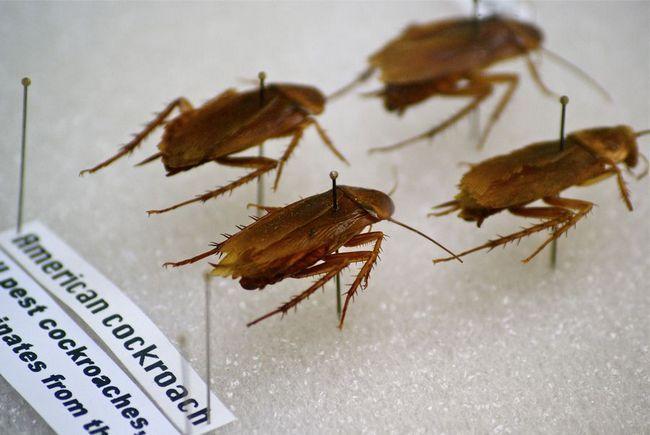 Americký šváb (Periplaneta americana)