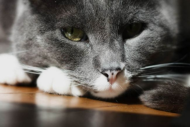 Ипакетине для кошек: инструкция по применению
