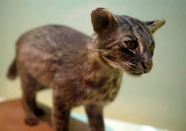 Iriomotskaya mačka (Prionailurus bengalensis iriomotensis).