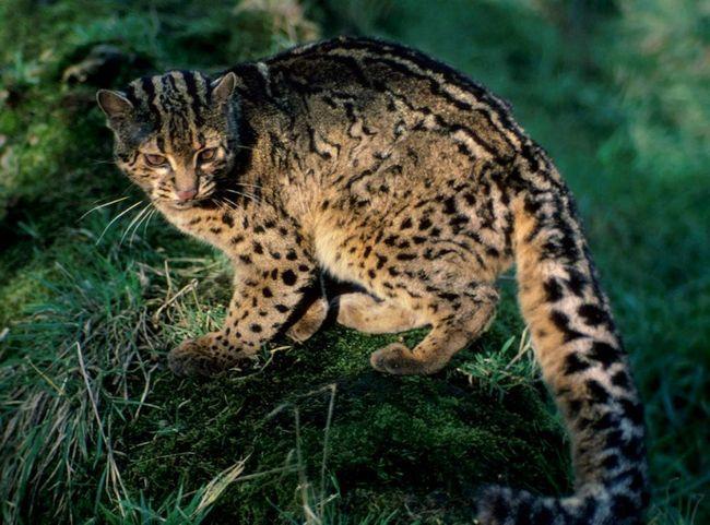 Japanski divlje mačke izbjeći ljudskih naselja.