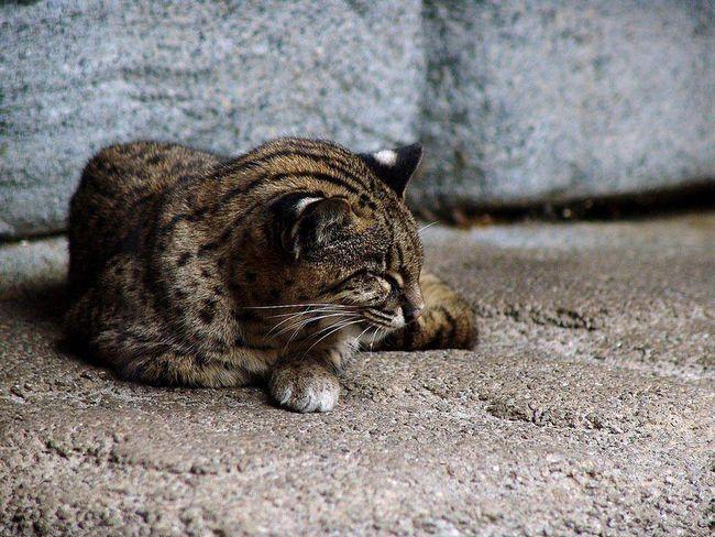 Na otoku Iriomote-jima ove mačke meso smatra se delikatesom.