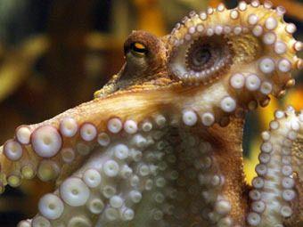 hobotnica Paul