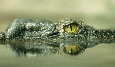Na glavi postojećih danas kubanski i siamskogopresnovodnogo (na slici) krokodila su prisutni koščate izrasline (foto Joel Sartore / National Geographic Stock).