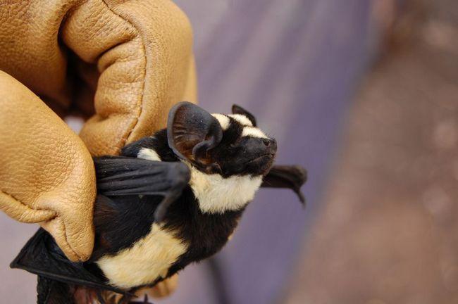 Istraživači su otkrili bat-panda
