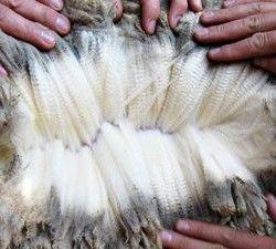vlna fotografie ovce