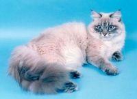 Povijest Neva maskenbal mačka