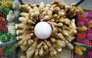 Содержание птенцов домашней утки
