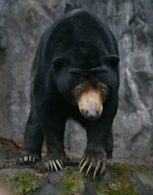 šest Malezijski medvjed