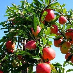 Apple Tree fotografie