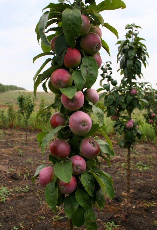Stubasta jabuka: sadnju
