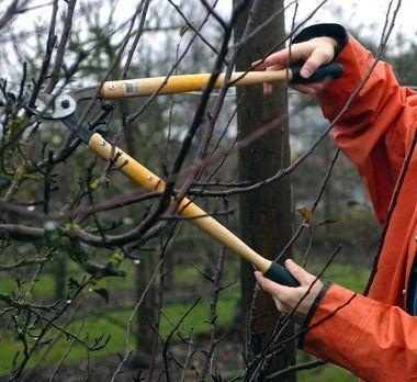 orezivanje stabala jabuke u jesen