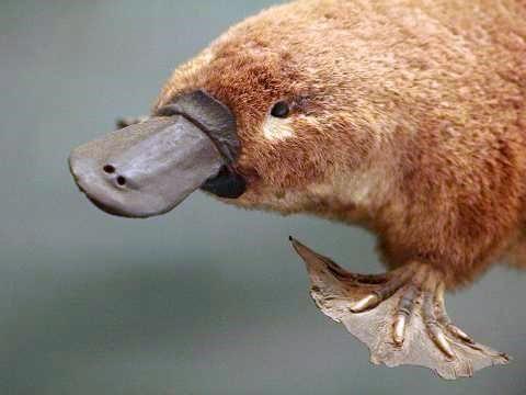 Platypus otrov može ubiti srednje veličine kućnih ljubimaca
