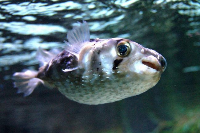 Brandt je Hedgehog-riba (Diodon holocanthus).
