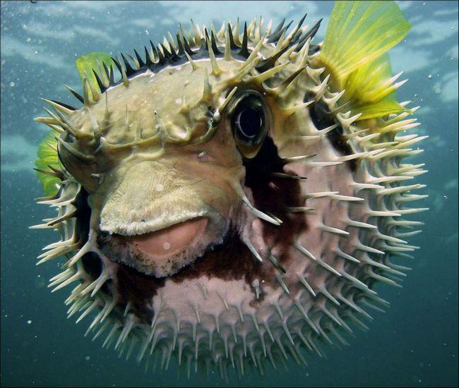 Kože i unutrašnjih ribe ježa može biti otrovan zbog akumulacije Tetrodotoksin.