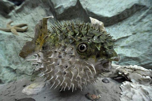 Riba-ježevi se nalaze u morskoj vodi.