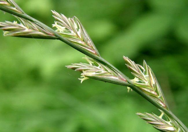 kukolja, otrovne biljke