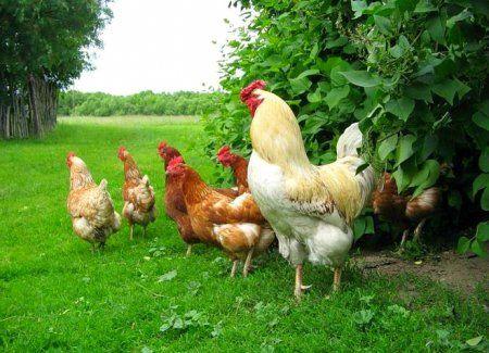 Яичные породы кур в россии