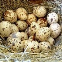 Prepelice jaja