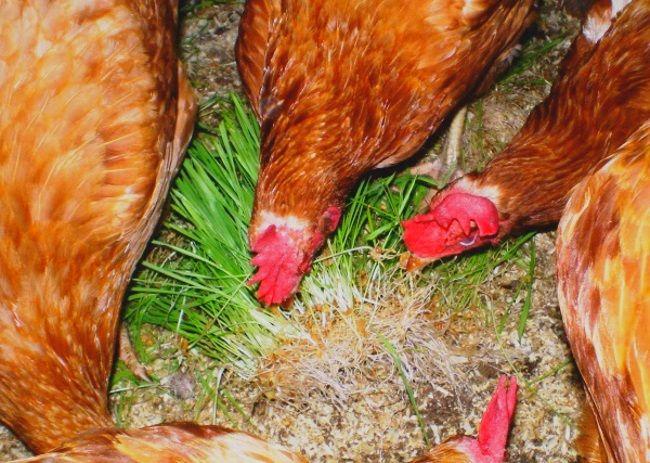 Яйценоскость кур без «зимних каникул»