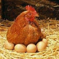 Яйценоскость кур