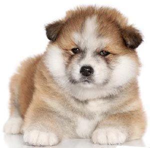 щенок японской акиты ину