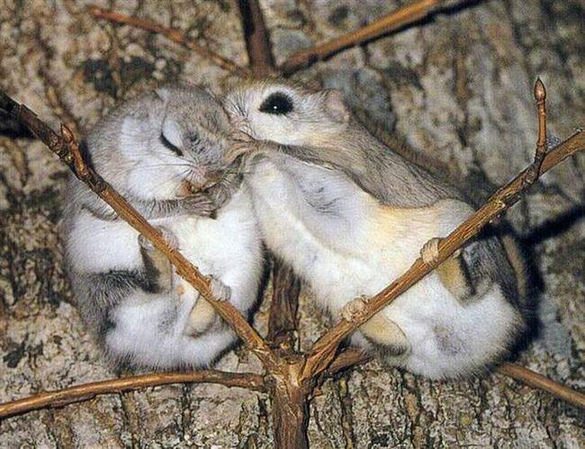 Японская летяга, или малая летяга (лат. Pteromys momonga)