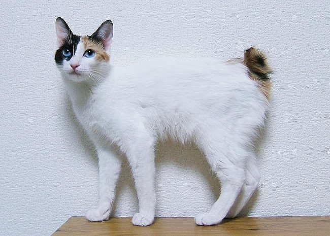 Японский бобтейл (Japanese Bobtail)