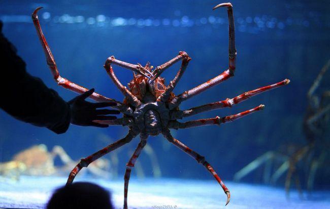 Uprkos tome što su zastrašujući izgled, japanski pauk rakova biti miran i bezopasan.