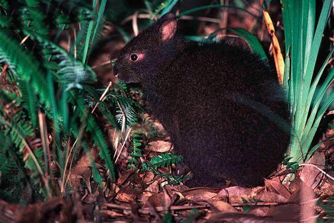 Японский лазающий заяц – древесный заяц (Pentalagus furnessi) или кролик амами.