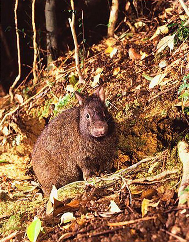 Японский лазающий заяц покрыт плотным мехом темно-коричневого или черного цвета.