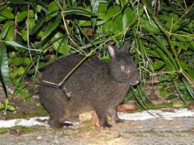 Японские лазающие зайцы изначально жили в густых девственных лесах