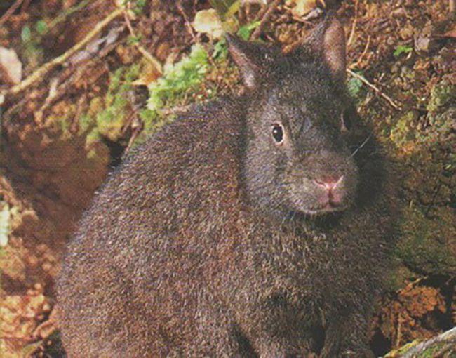 Японские лазающие зайцы ведут ночной образ жизни