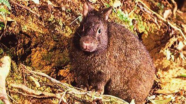 Японский лазающий заяц находится под угрозой исчезновения.