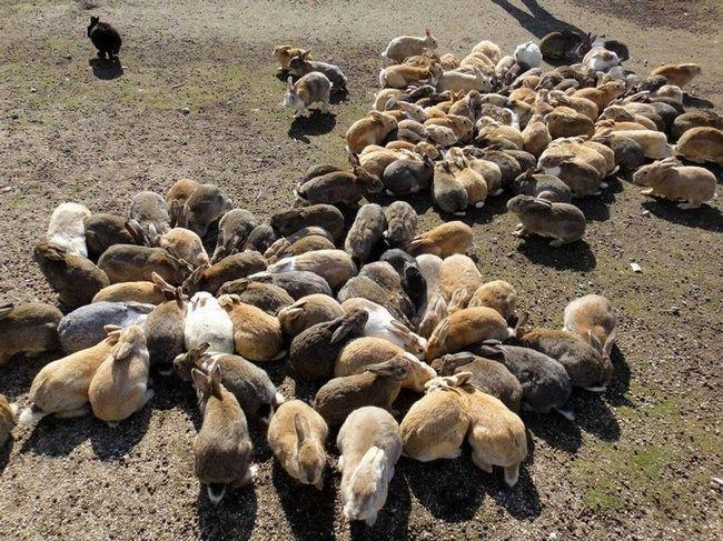 Okunoshima japanski otok - raj za zečeve