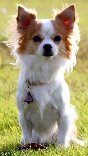 dlouhosrstý Chihuahua jmenoval Momo