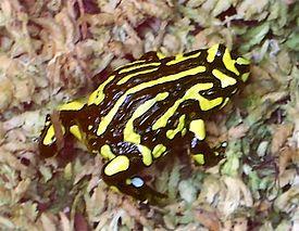 Ложная жаба фото