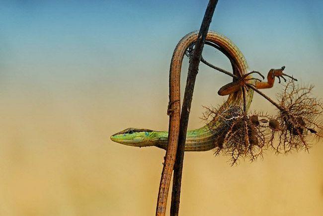 Long rep ne ometa guštera, on joj pomaže žonglirati između trava potiče.