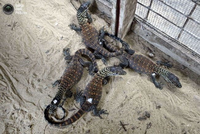 Jaslice za Komodo gušteri