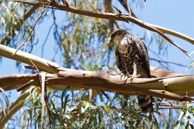 Ястребиный африканский орел населяет леса и лесные массивы.