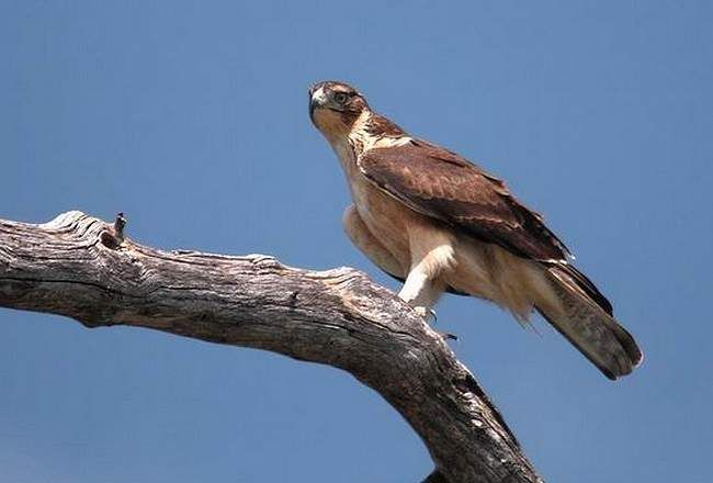 Ястребиный африканский орел – довольно распространенный вид птиц в местах своего обитания.