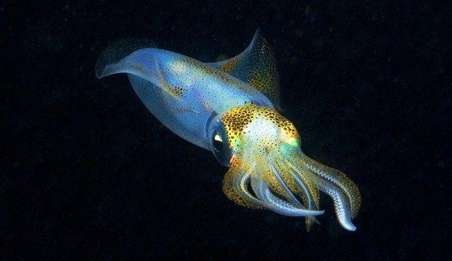 sepioteutis Kalmar jugozapadno (Sepioteuthis australis)