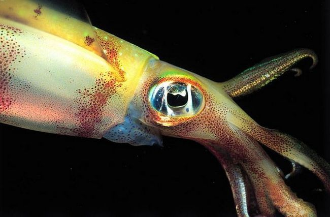 Lignje oči su relativno velike i strukturno blizu očiju kičmenjaka. Oni također imaju tendenciju da binokularni vid, što vam omogućava da se fokusiraju oko na vađenje i sa velikom preciznošću odrediti udaljenost do