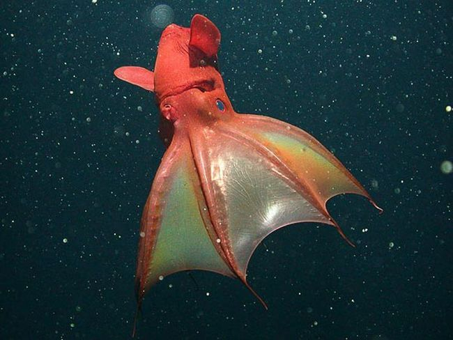 Pakleni vampir lignje (Vampyroteuthis infrnalis) dostiže dužinu od 37 cm, i ništa u njegovom demonskom forma ima
