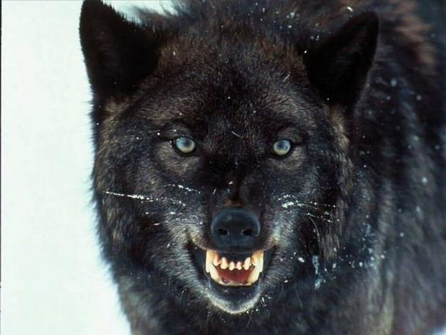 Язык и повадки волков