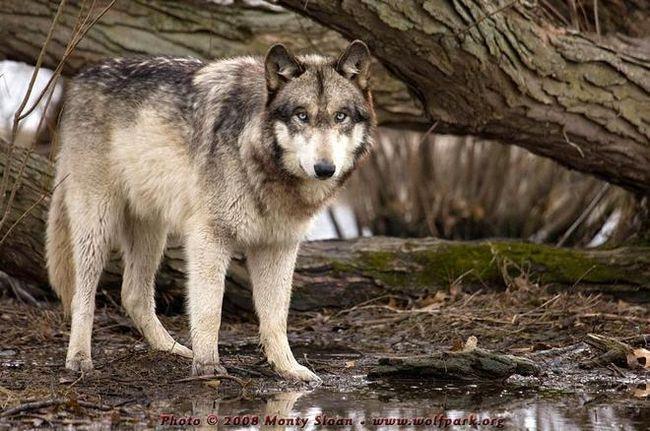 Zajímavá fakta o vlky