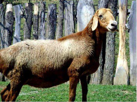 Edilbaevskaya rase ovaca
