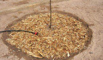 Замульчированный на зиму саженец, 2.bp.blogspot.com
